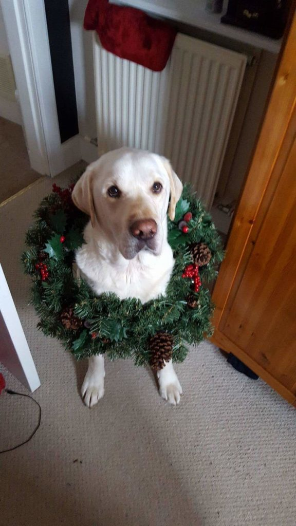 Mac the labrador wearing a Christmas wreath