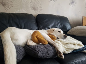 A labrador dog lying down with a stuffed hedgehog toy in his arms